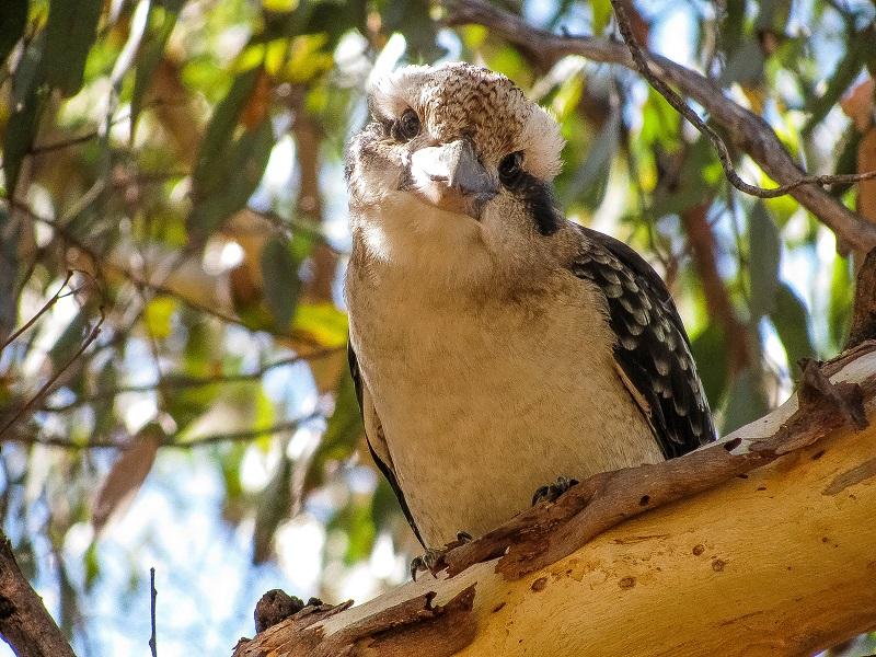 Kookaburra - foto Andrzej Fiala