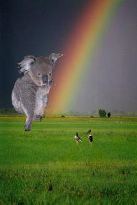 koala i tecza